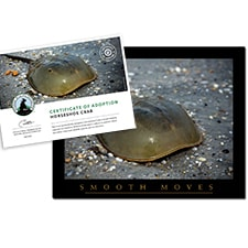Adopt a Horseshoe Crab