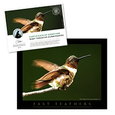 Adopt a Ruby-Throated Hummingbird