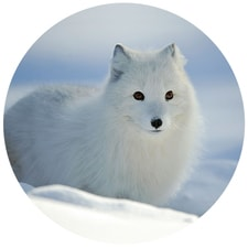 Arctic Fox in Snow Envelope Seals