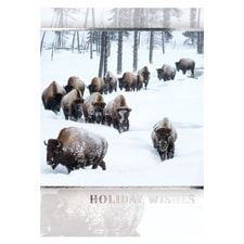 Herd of American Bison Card