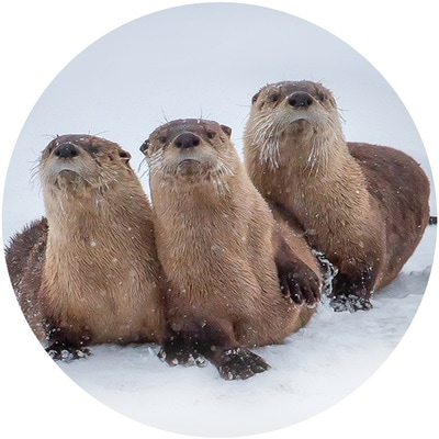 River Otters Along the Shoshone River Envelope Seal