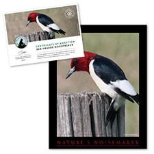 Adopt a Red-Headed Woodpecker