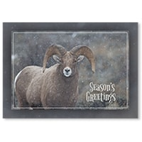 Snowy Big Horn Sheep Card